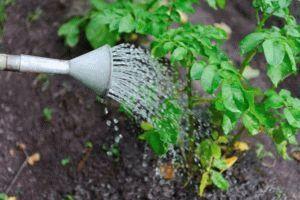 Как поливать картофель для хорошего урожая