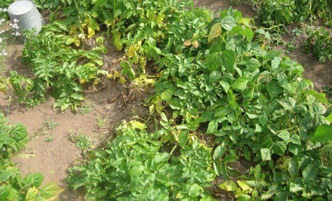 пожелтевшие картофельные кусты