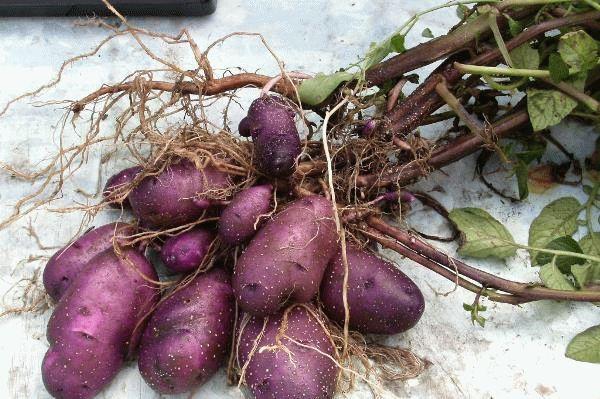 Все особенности картофеля Цыганка