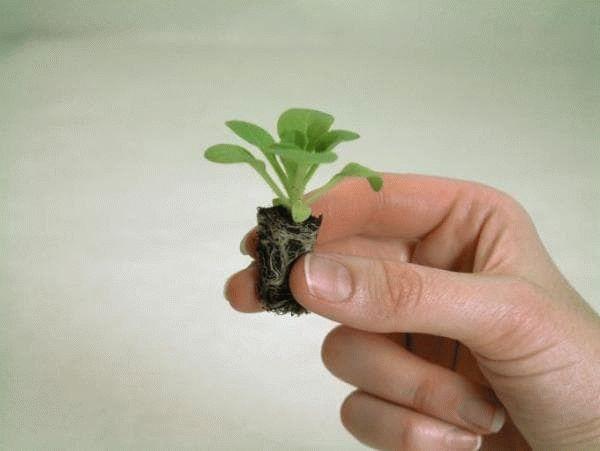 росток петунии