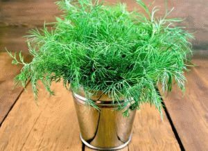 Правила выращивания укропа в домашних условиях