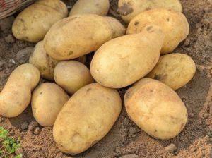 Сорт картофеля Джелли: особенности и характеристика