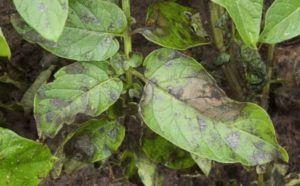 Как эффективнее бороться с фитофторой на картофеле