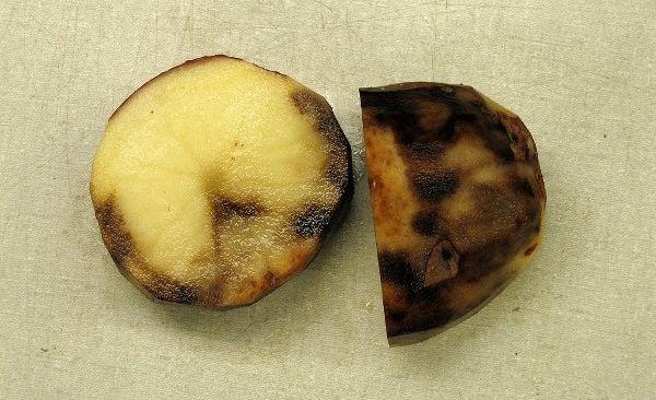 фитофтора на клубнях картофеля