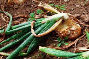 Почему на грядке гниет лук: что делать, как спасти урожай