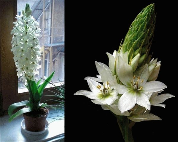 цветы индийского лука