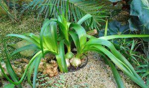 Выращивание индийского лука: польза и вред растения, правила ухода