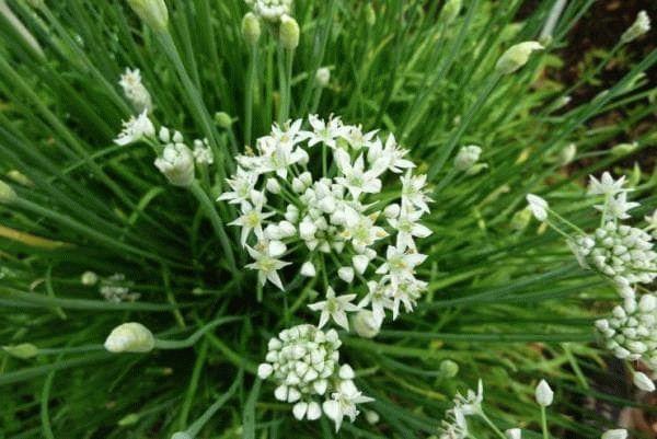 цветы китайского чеснока