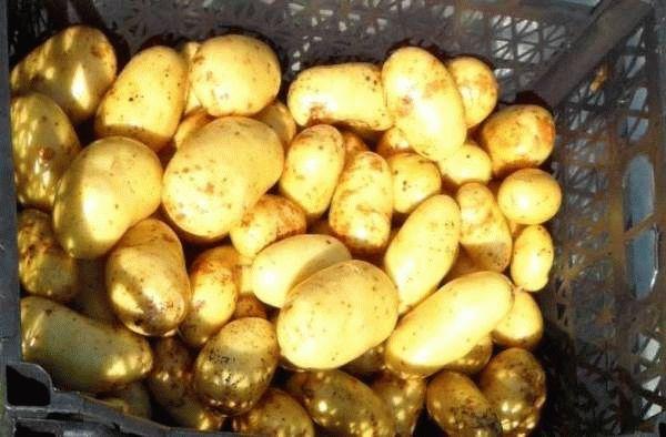 картофель в ящике