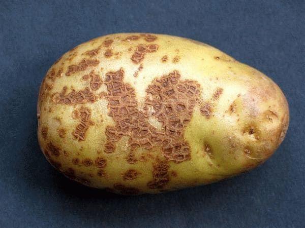 парша на картофеле