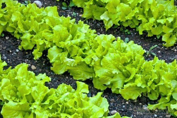 грядка салата