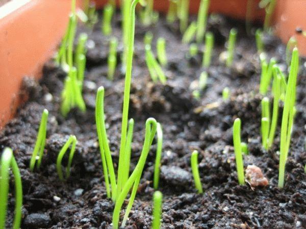ростки лука