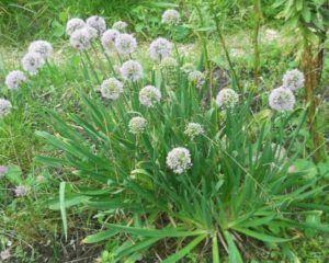 Описание лука-слизуна: популярные сорта и выращивание