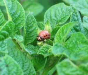 Вредители посадок картофеля и методы борьбы с ними