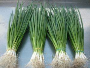 Выращивание зелени лука из семян