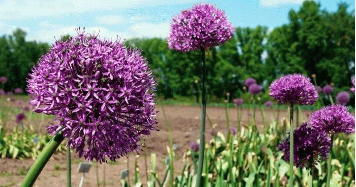 Афлатунский – сорт декоративного лука