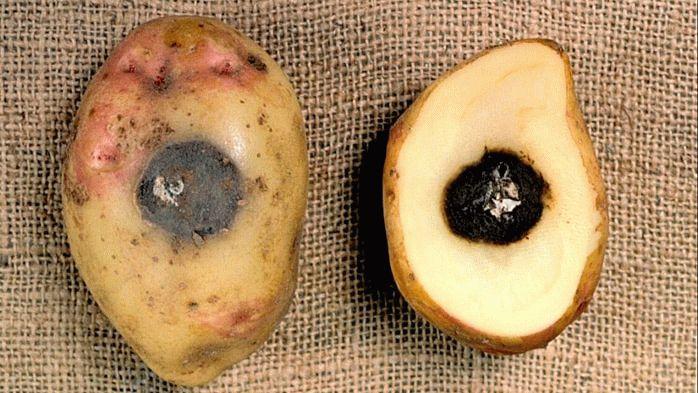 Заболевание картофеля