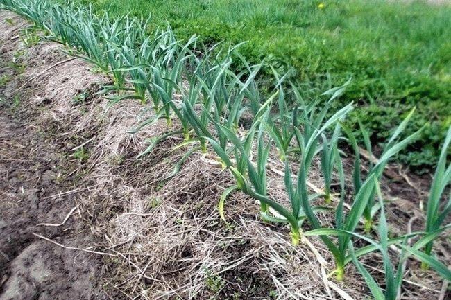 Подготовка грядки под чеснок осенью: какую почву любит овощ при посадке под зиму