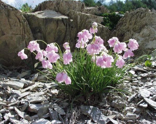 Лук Нарциссоцветковый