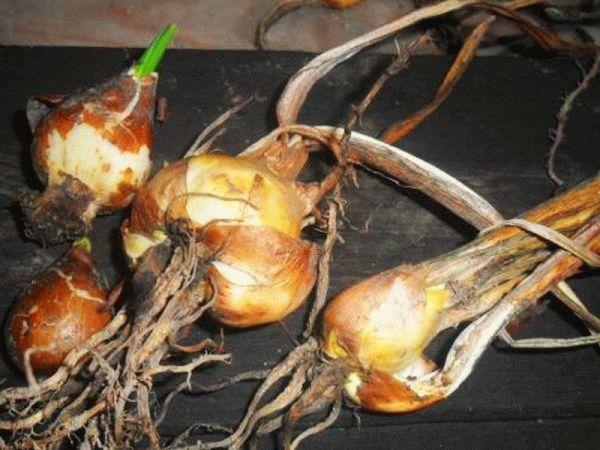 луковицы аллиума