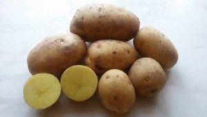 Описание картофеля Гала: особенности агротехники