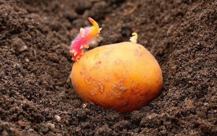 Пророщенный клубень картофеля для посадки