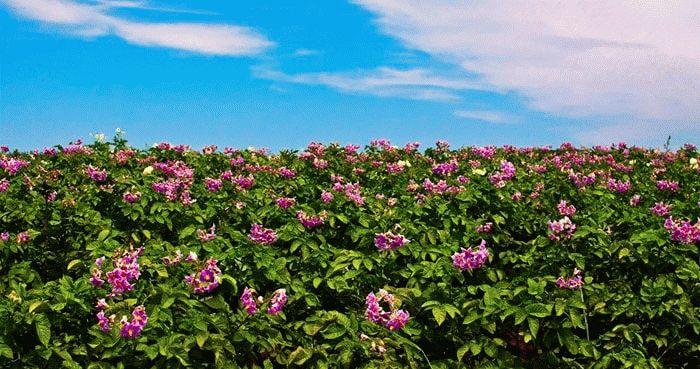 Картофельная плантация в цвету
