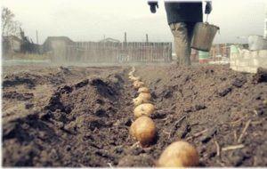 Посадка картошки: оптимальные сроки