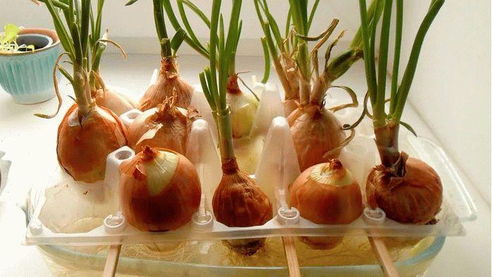 Выращивание зеленого пера в контейнере от яиц