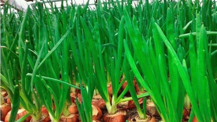 Посадки зеленого лука