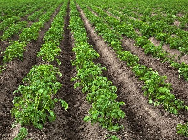 ряды картофеля