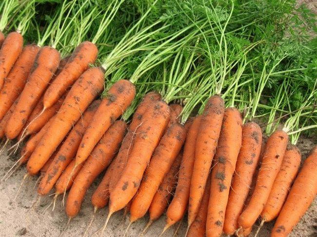 выкопанная морковь на просушке
