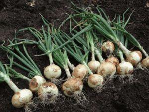 Выращивание лука-севка весной на головку