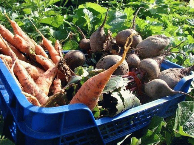 морковь и свекла в ящике