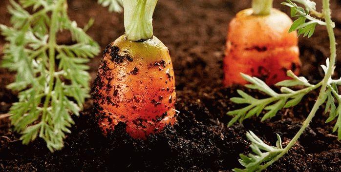 Подкормленная морковь