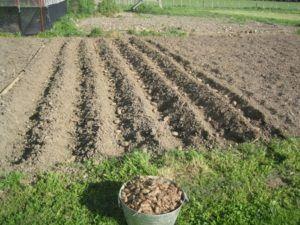Как правильно сажать картофель: способы и агротехника выращивания