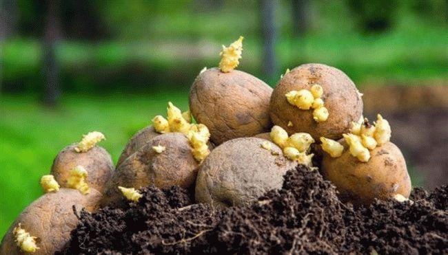 посадка картошки летом