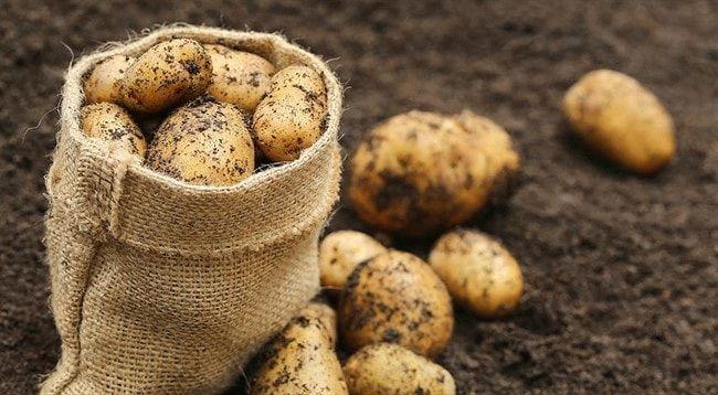 картофельный урожай