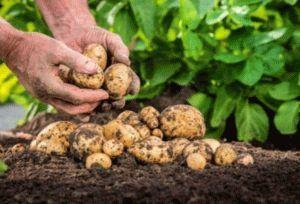 Как получить большой урожай картофеля: секреты агротехники