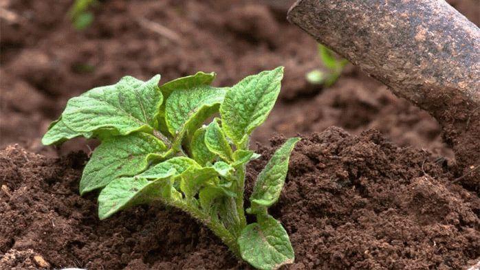Рыхление молодых кустов картошки