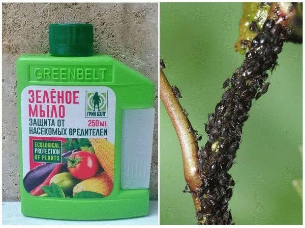 зеленое мыло и ветка с вредителями