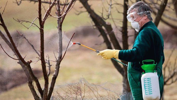Опрыскивание плодовых деревьев железным купоросом