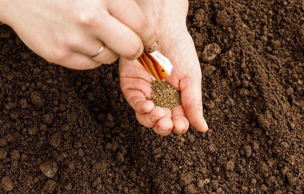 Семена моркови в руке