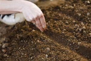 6 способов высевания семян моркови без прореживания