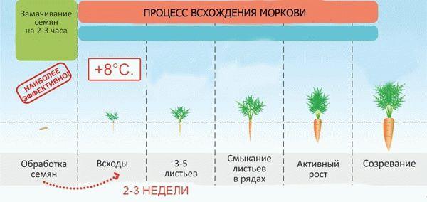 Процесс всхождения моркови