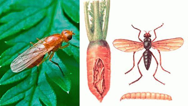 Морковная муха и ее личинка