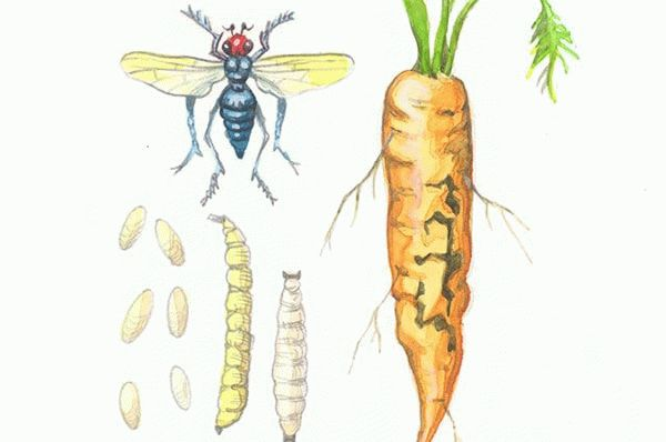 Размножение морковной мухи