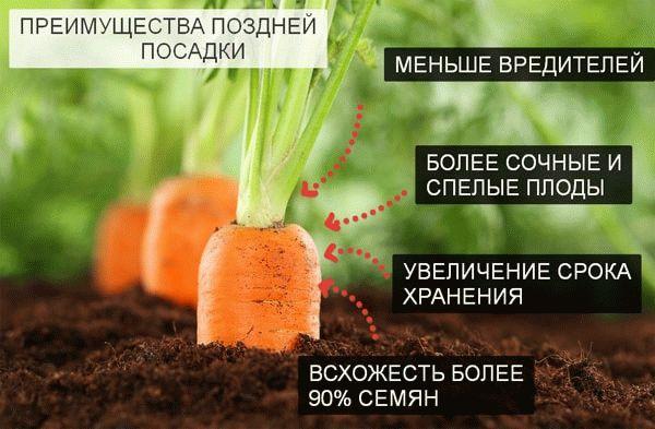 Преимущества поздней посадки моркови