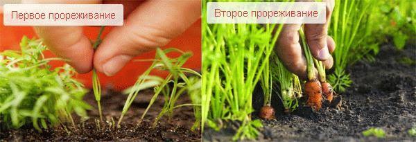 Первое и второе прореживание моркови