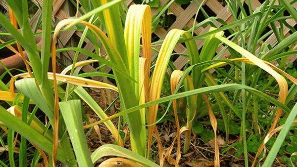 Желтые листья у чеснока